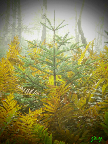 Spruce in Ferns | by photo fiddler