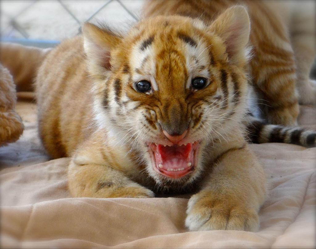 Tiger Cub Auburn University Football Fans Can Meet Play