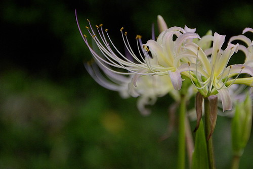 spider lily | by mila-sera