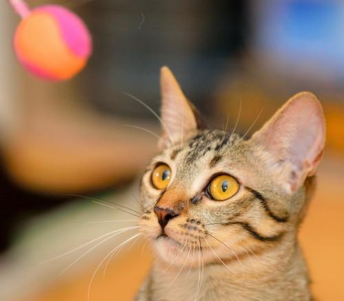 Muriel, gatita atigrada parda tímida y dulce esterilizada, de ojos cobrizos, nacida en Abril´16, en adopción. Valencia. 29322971190_e0979bdf31