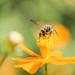 Bee on the orange .