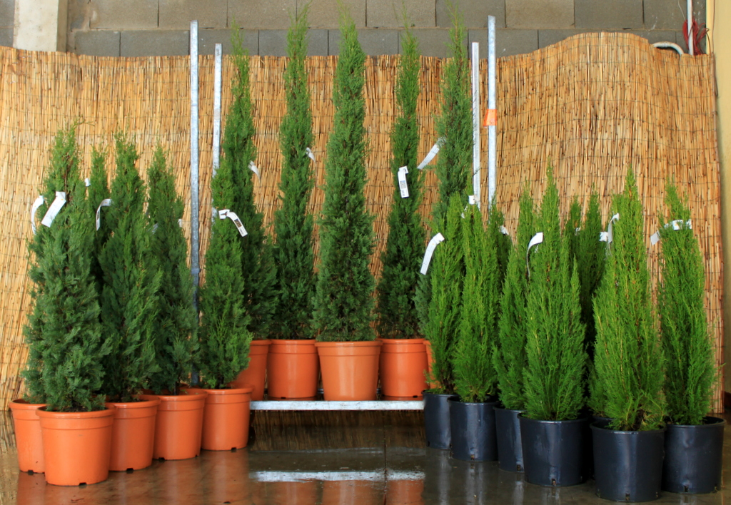 cupressus sempervirens pyramidalis container mix vivai. Black Bedroom Furniture Sets. Home Design Ideas