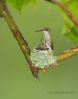 Ruby-Throated Hummingbirds nest (NWF Photo of the Day, Sept. 5th 2012) | by www.momentsinature.com