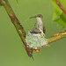 Ruby-Throated Hummingbirds nest (NWF Photo of the Day, Sept. 5th 2012)