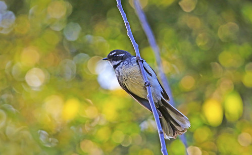 Grey Fantail : Spring bokeh . . . | by Clement Tang **busy**