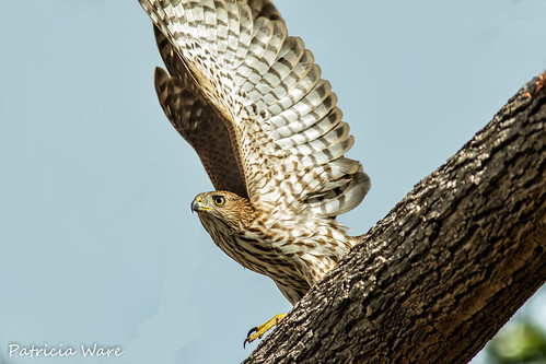 Backyard Cooper's Hawk | by Patricia Ware