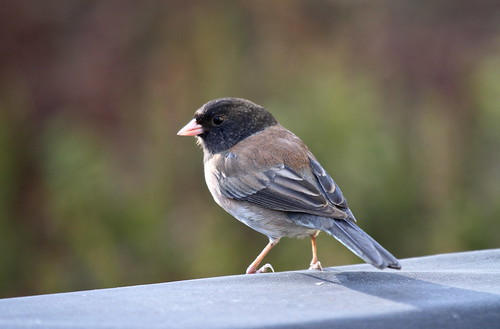 Dark-eyed Junco (Junco hyemalis) Oregon | by captured views - gone on holiday!