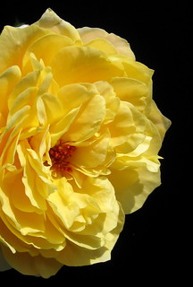 The Yellow Rose of Brooklyn by My Lovely Wife | by Puzzler4879 Thanks for 5M Views!!