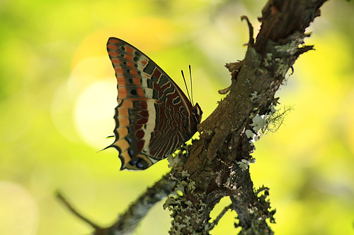 Mariposa - Charaxes jasius | by rio en medio - Jose On/Off