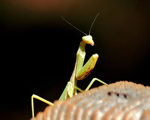 Mantis 2 | by AndyM.