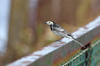 Pied Wagtail | by jambogaz