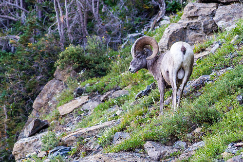 Big-Horned Sheep | by law_kid