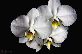 White Orchid ... for you my friend | by Dagmar :-)