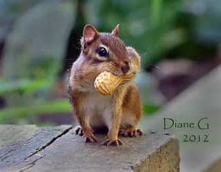 Chipmunk | by Diane G. Zooms---Mostly Off