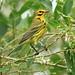 Prairie Warbler 20120919