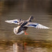 Female Mallard Duck landing on Lake Aquitaine