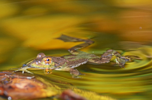 Pond Frog It's a froggy froggy day | by cwnlsl