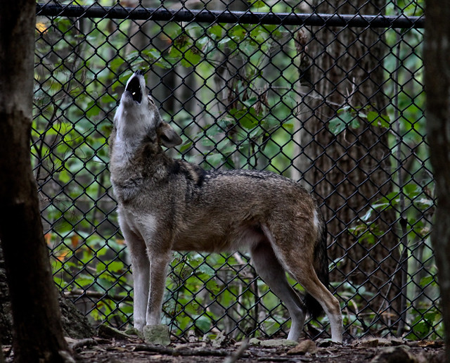 Red Wolf Howling Red wolf howling | NC ...