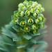 Euphorbia characias ssp. wulfenii 'Lambrook Gold'