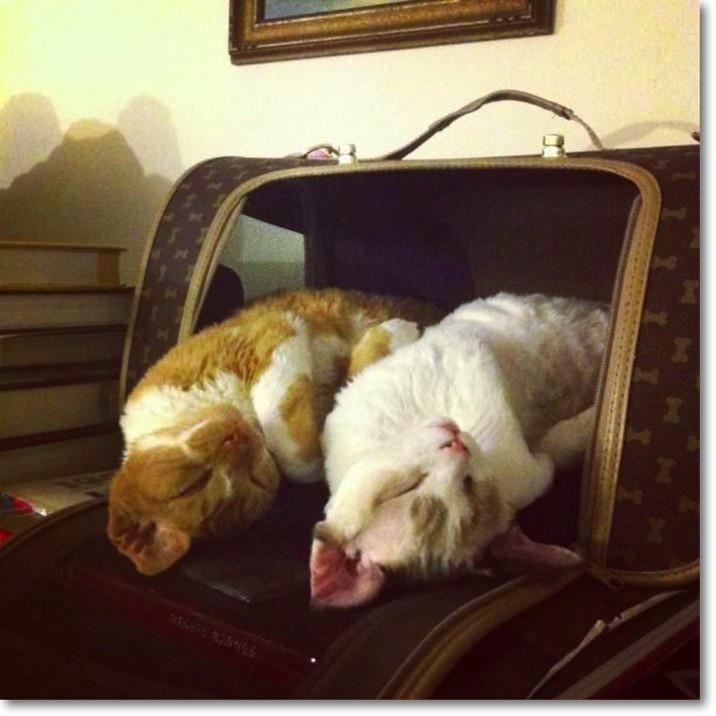 jet-lag-cats