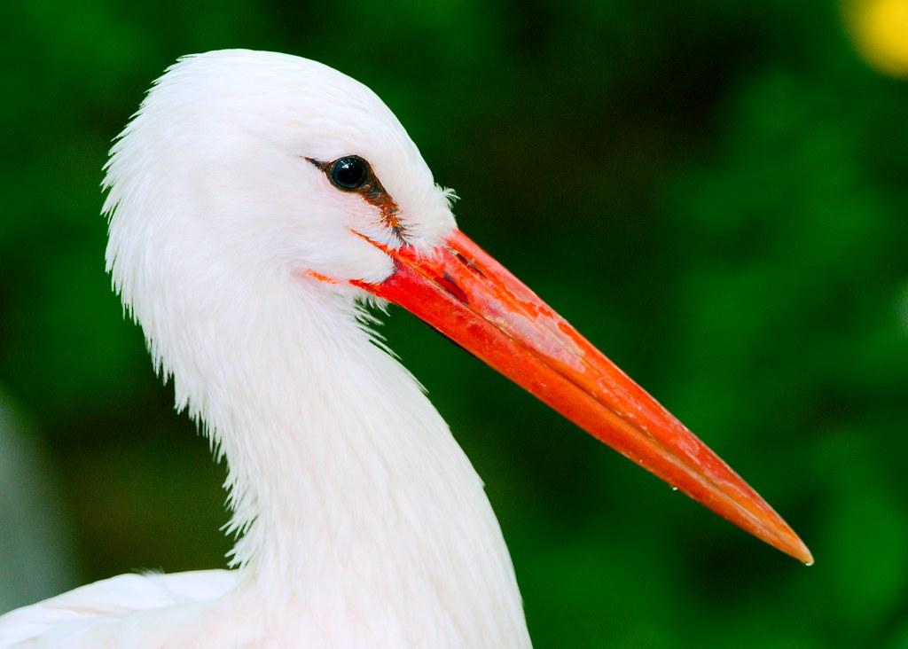 White Stork_1