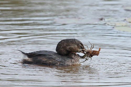 Pied Billed Grebe with dinner.... | by McGill's Nature in Motion