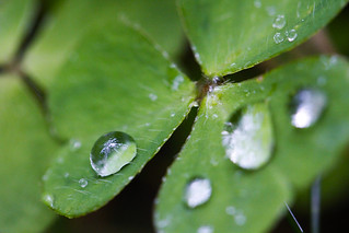 "Week 35- 2012: ""Raindrop on clover"" 