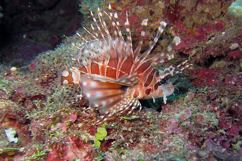 Small Lionfish - Diving Okinawa | by HyperLemon