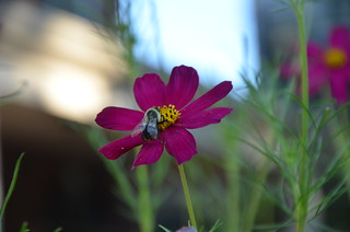 Cosmos and the bee. | by marilynbsmith