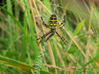 Wasp Spider, Argiope bruennichi, female, with wrapped grasshopper prey, and stabilmentum in web, Cambourne, Cambridgeshire    DSC_1228 | by Cladoniophile