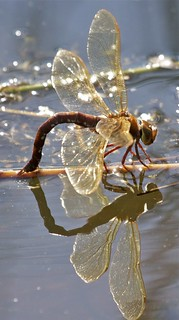 Brown Hawker dragonfly | by Paul Deuble