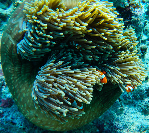 Finding Nemo - at Menjangan - Indonesia | by Ferdi's - World