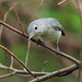 Blue-gray Gnatcatcher 2-20120919