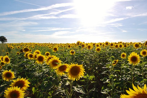 Sunflowers, France | by tomsandars
