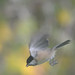 Black-Capped Chickadee Dive