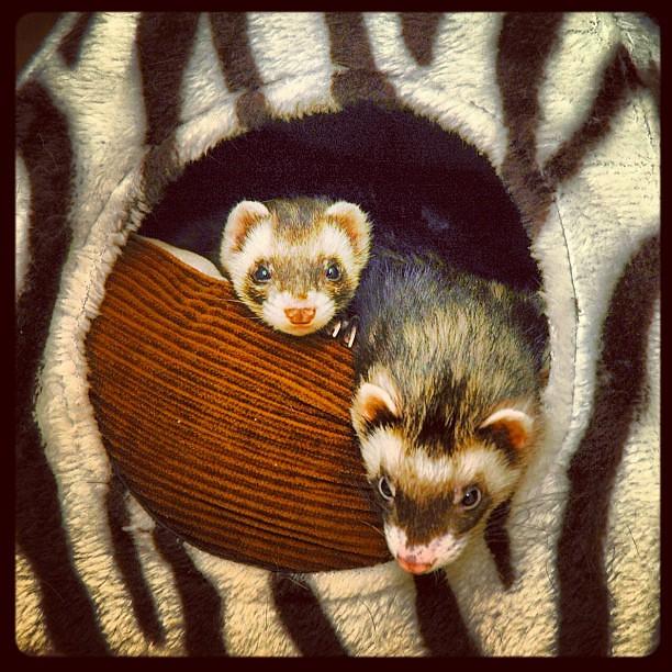 Ferret tent #ferret & Ferret tent #ferret   Sammy Carter   Flickr