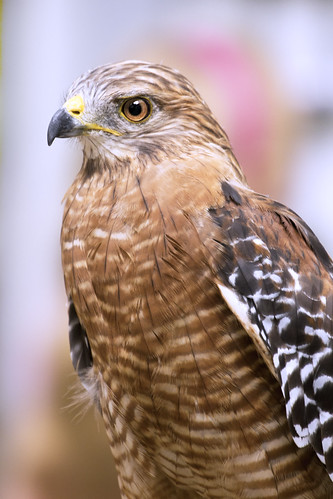 Red Shouldered Hawk | by pavonne