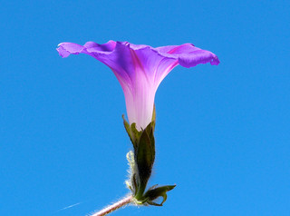 morning glory flower | by nannyjean35