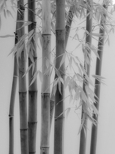 Bamboo | by 1bluecanoe