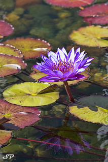 Water Lily | by SPP - Photography