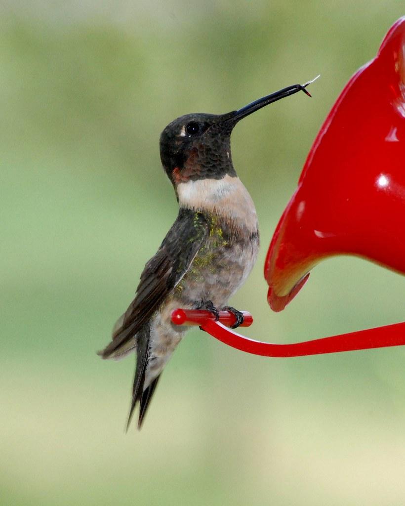 Ruby Throated Hummingbird Adult Male W Broken Beak 9 7