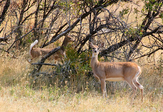 Whitetails near the Wagonbox | by WY Man