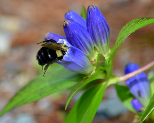 Bottle Gentian with Bee 2 | by hickamorehackamore