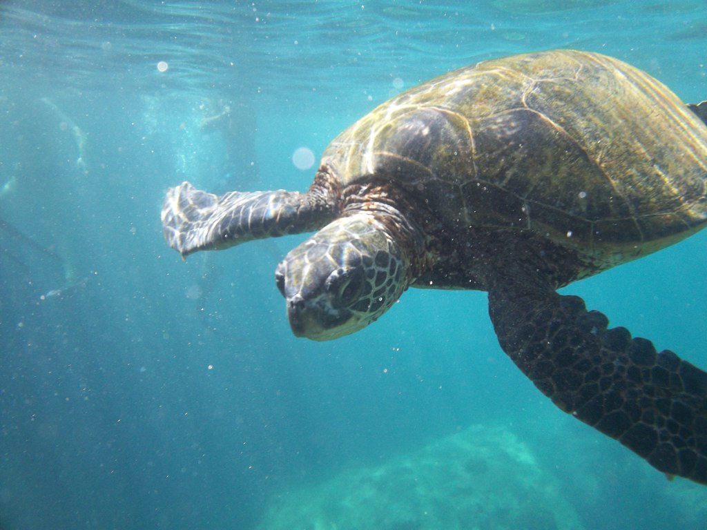 Baby Green Sea Turtle | Swimming & Eating near the shore ... - photo#12