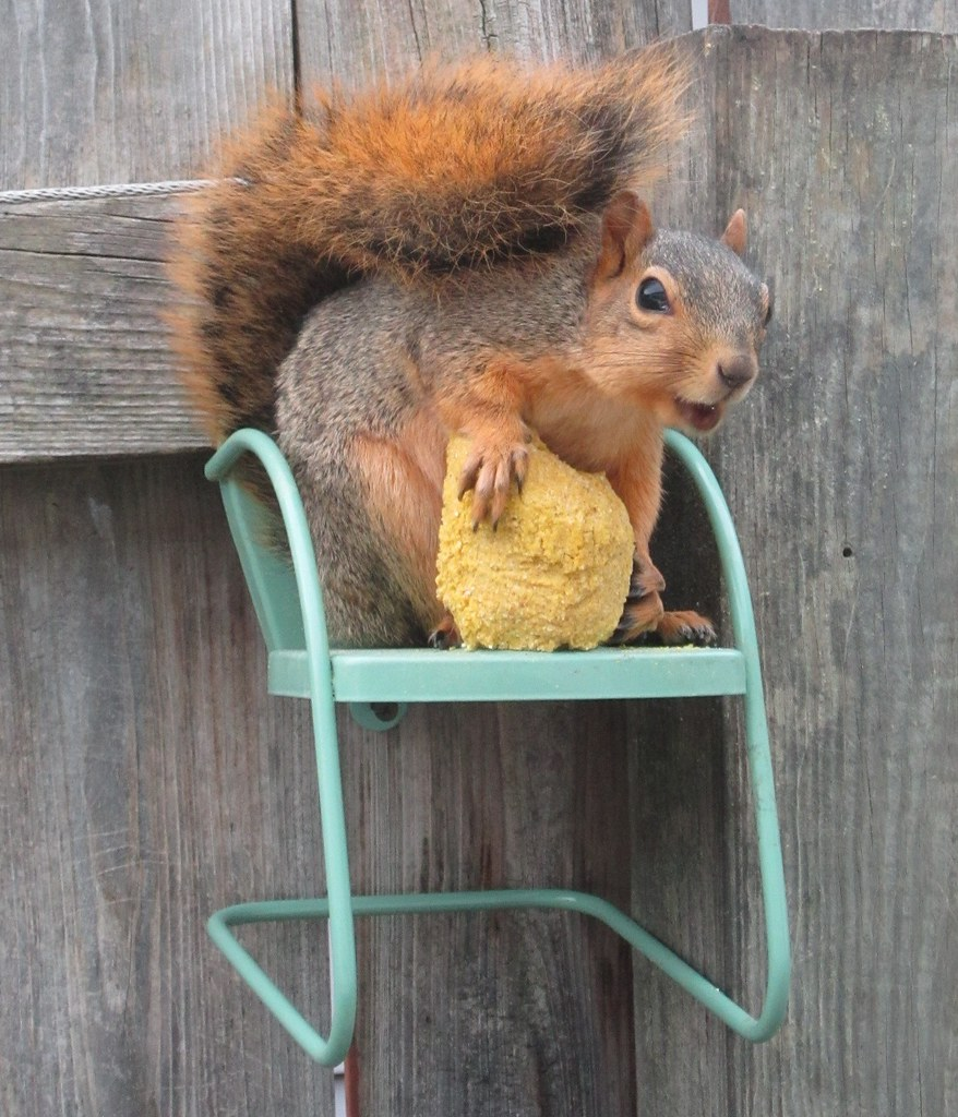 Squirrely In His Chair I Just Got My Little Squirrel Pal