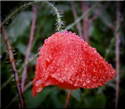 Poppy with Dew | by mayaplus