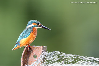 Common Kingfisher Alcedo atthis | by Peter J Bailey - Saxon Studio