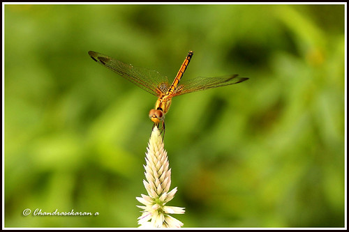 2447 - dragonfly | by chandrasekaran a 49 lakhs views Thanks to all.