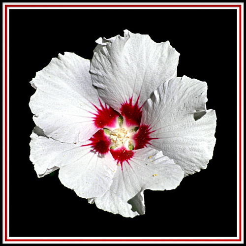 The White Hibiscus under spotlights!!! | by S.F. Happiness