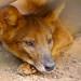 [IMGP2261-pp] Anjing hutan / Malayan Wild Dog / Cuon alpinus